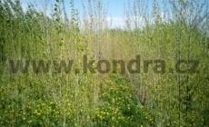 kondra-cz-topol-cerny_result