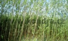 salix-viminalis-vrbove-pruty_result